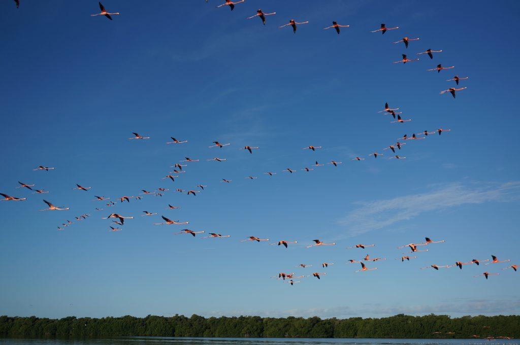 Flying flamingos in Celestun Mexico