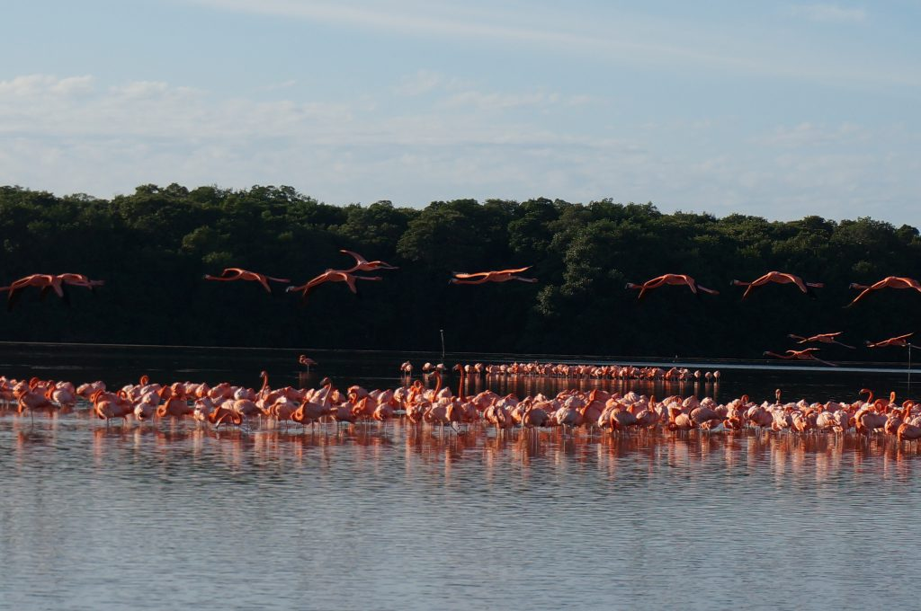Flamingos in Celestun, Yucatan, Mexico (near Merida)