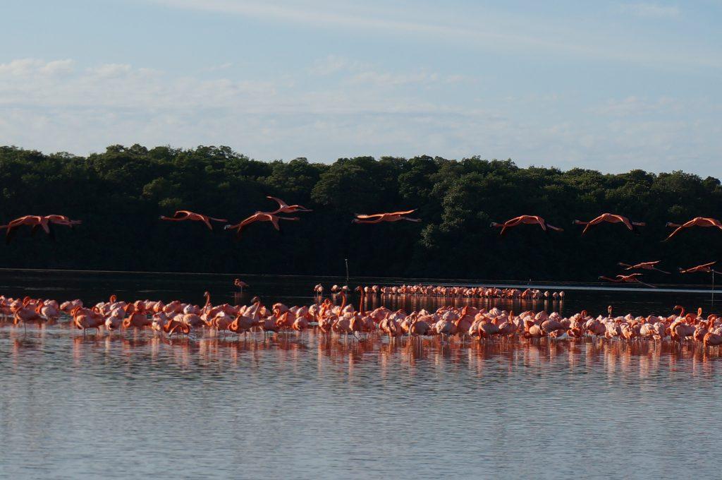 Flamingos in Celestun