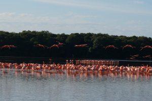 Flamingos in Celestun, Yucatan, Mexico (near Merida)
