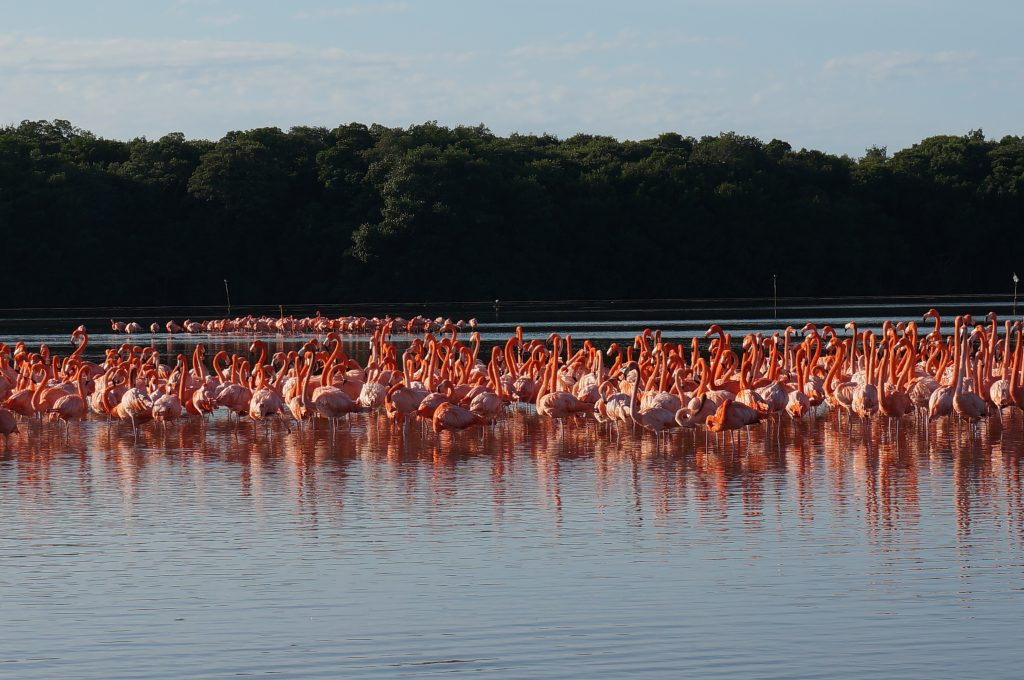 Flamingo flock in Celestun Mexico from boat tour
