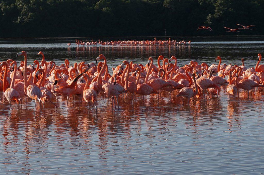 Many Flamingos in Celestun Mexico