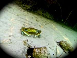 Crab underwater in Sian Ka'an canal mangroves.