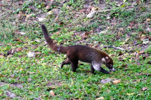 Coati at Tikal