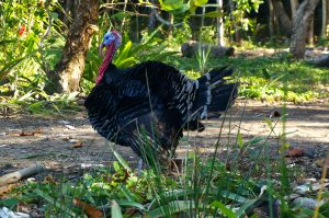 Turkey in Livingston Guatemala