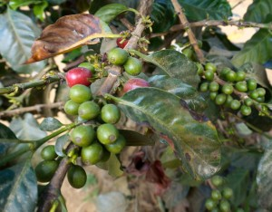 Unharvested coffee beans