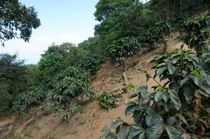 Coffee plants on side of Volcan San Pedro