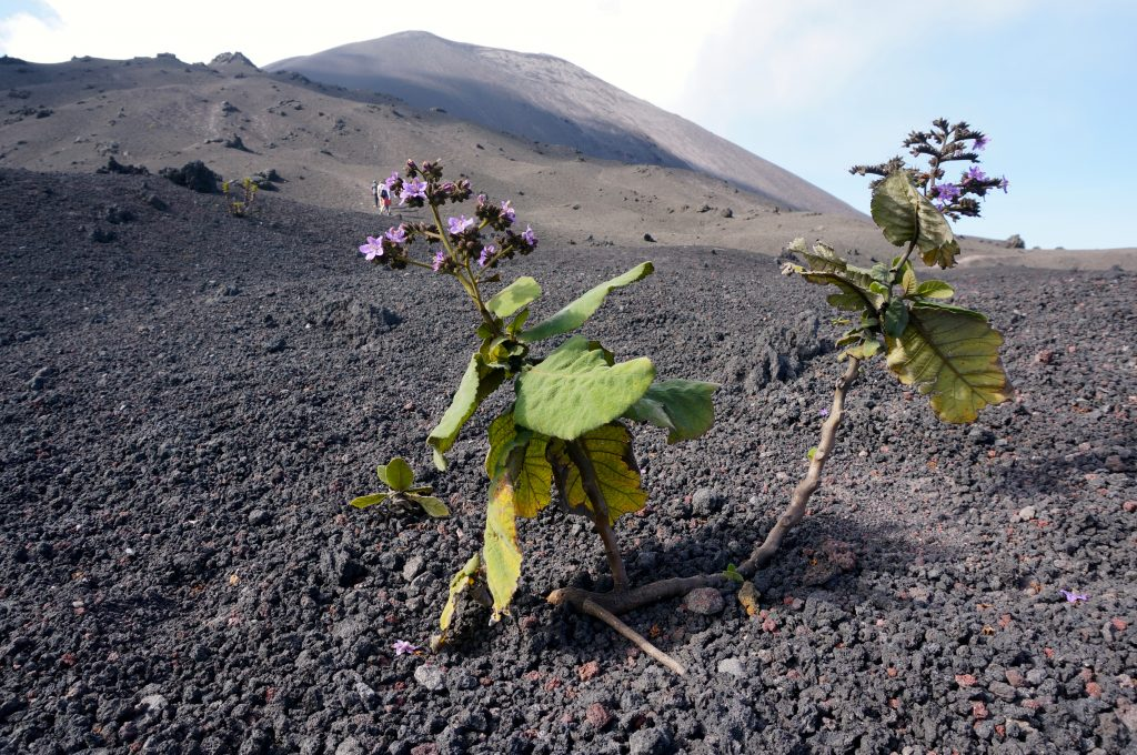 flowers at volcano pacaya