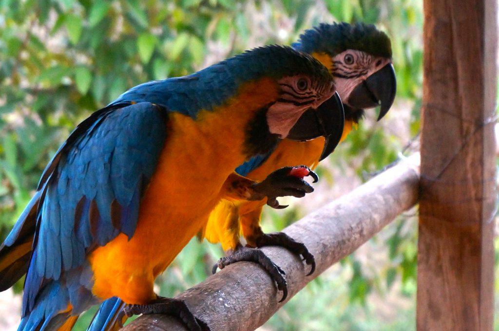two colorful Parrots encountered during Ciudad Perdida trek