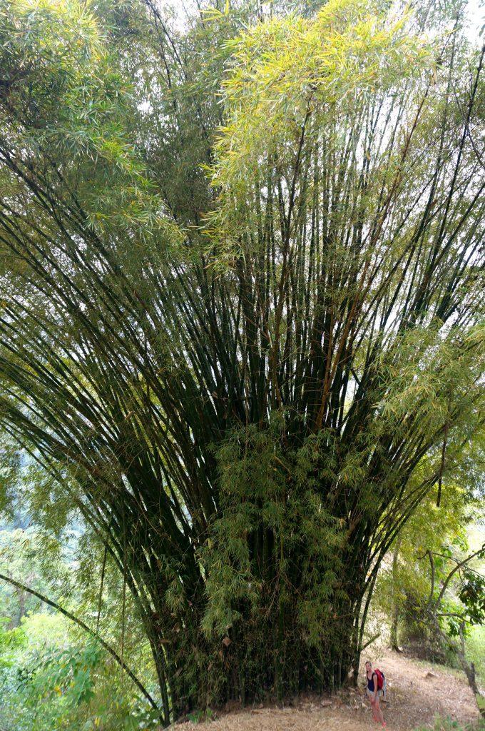 bamboo tree - ciudad perdida