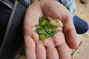 coca leaves used to make cocaine