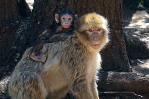 Mother and baby barbary ape