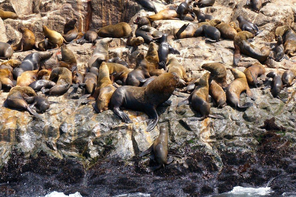 Huge male sea lion on Palomino Island