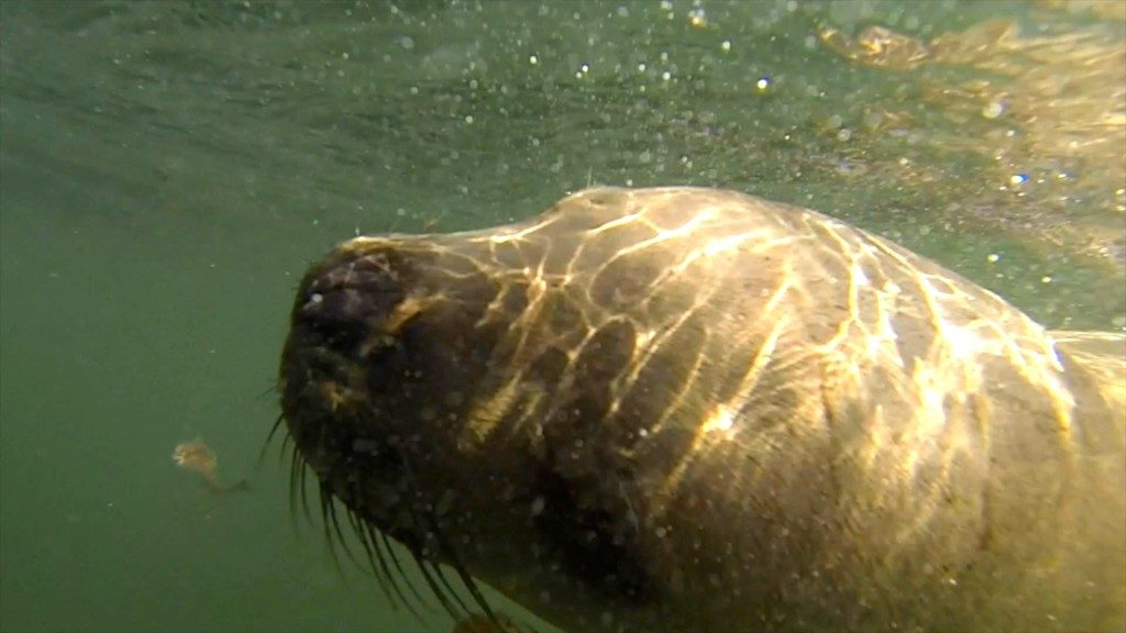 Underwater picture of sea lion swimming in ocean