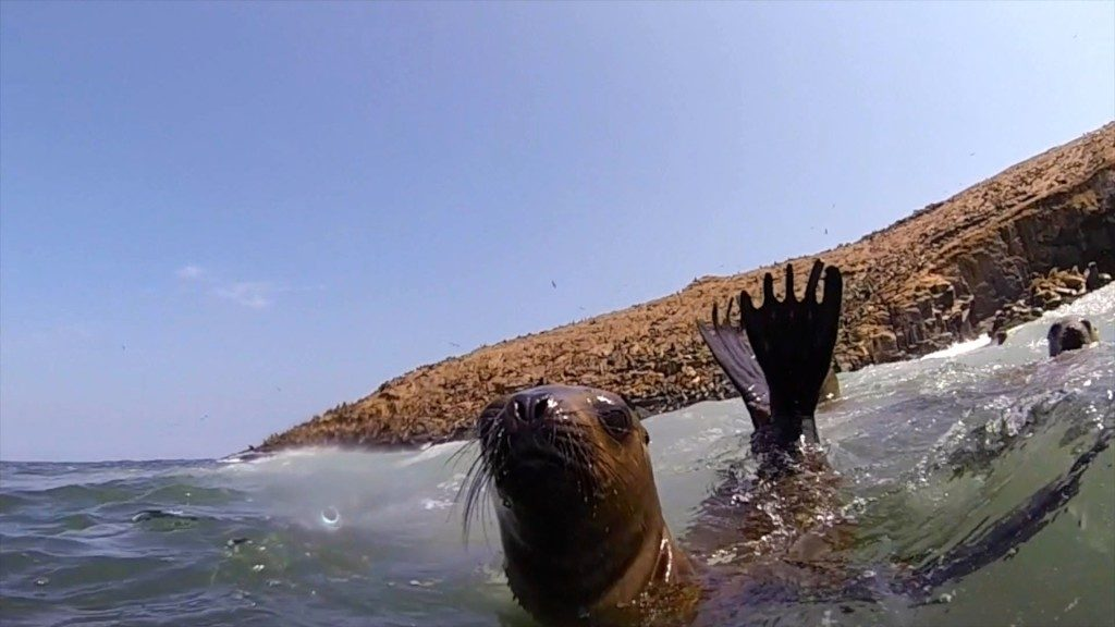a sea lion in the water