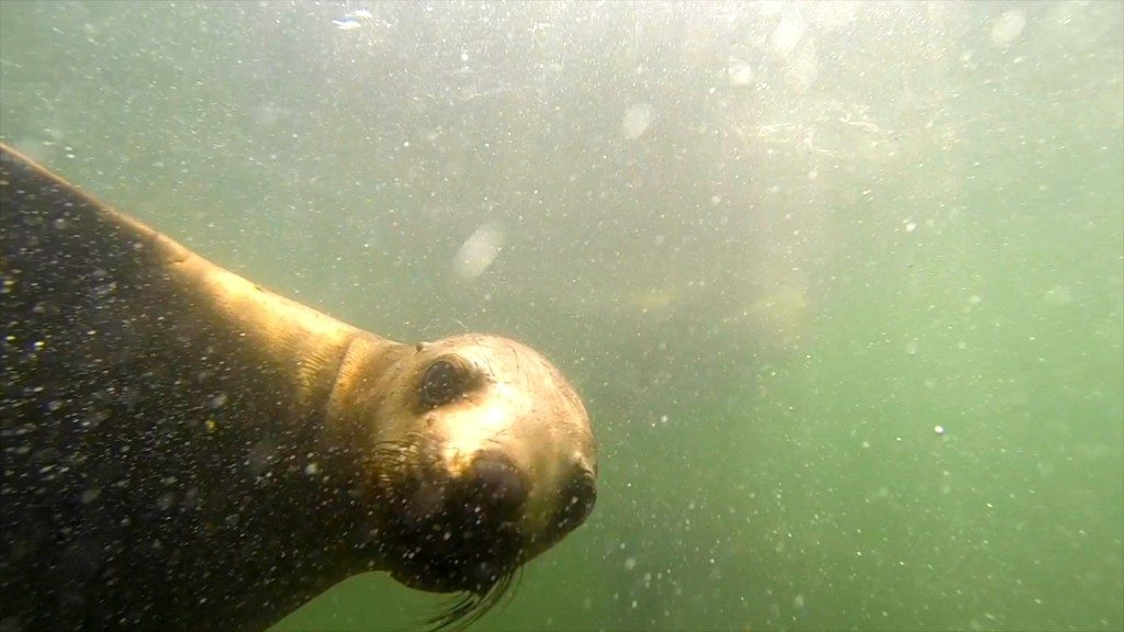 swimming sea lion selfie