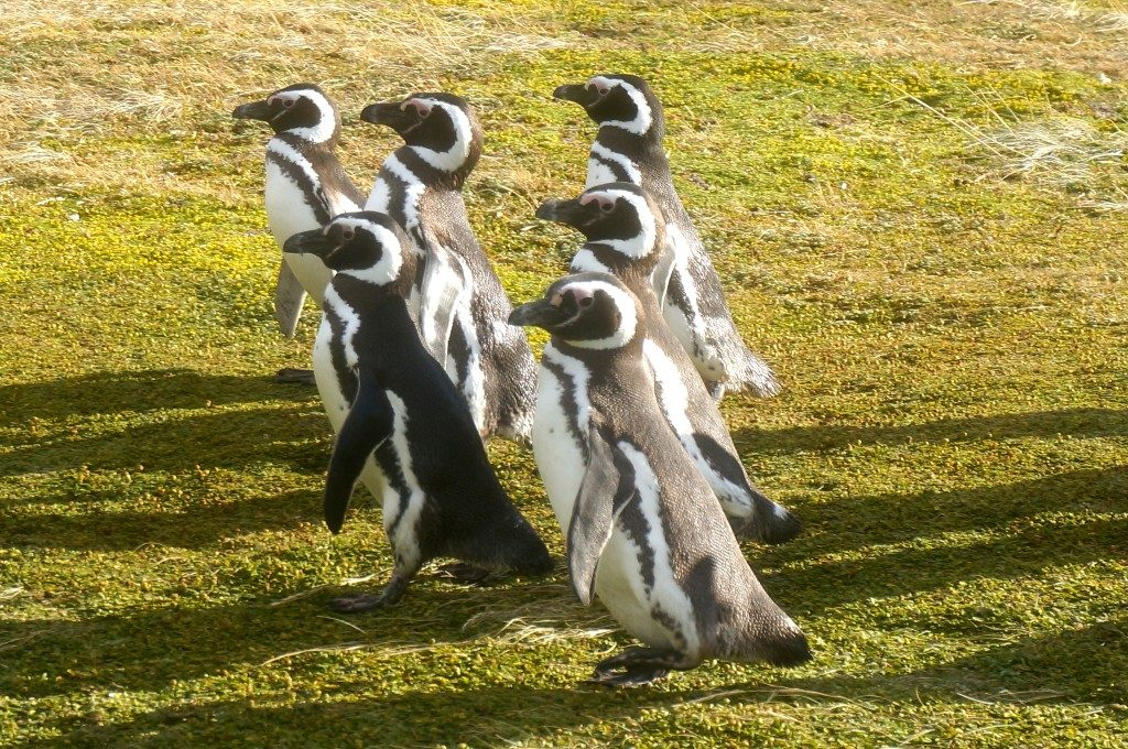 6 penguins walking from the Senno Otway penguin colony near punta arenas, chile