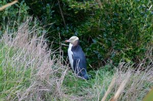 Finding Otago Peninsula Wildlife (New Zealand)