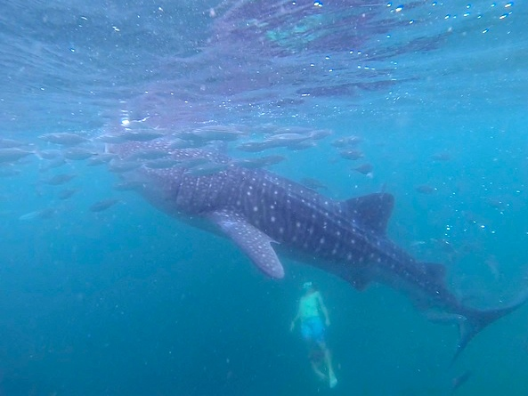 snorkeling with whale sharks in oslob philippines
