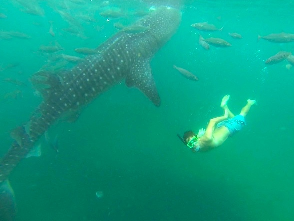 Man (John) snorkeling with whale shark in Oslob Philippines