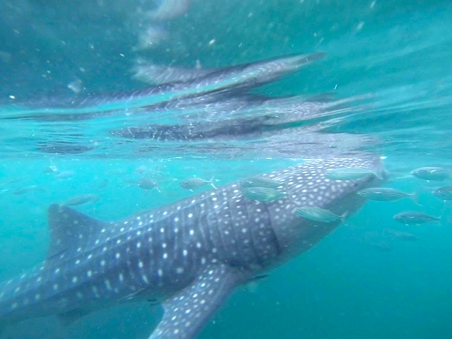How To Go Swimming with Whale Sharks in Oslob Philippines