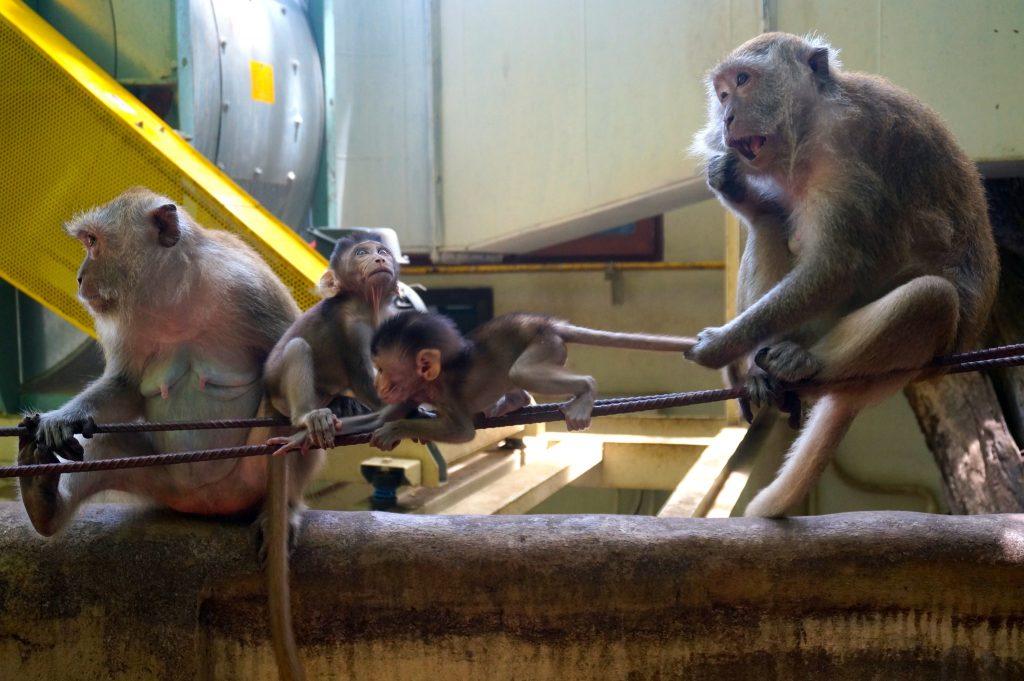monkeys in Railay