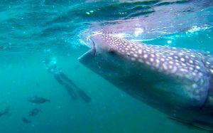 Whale shark filter feeding sucking in its food from surface