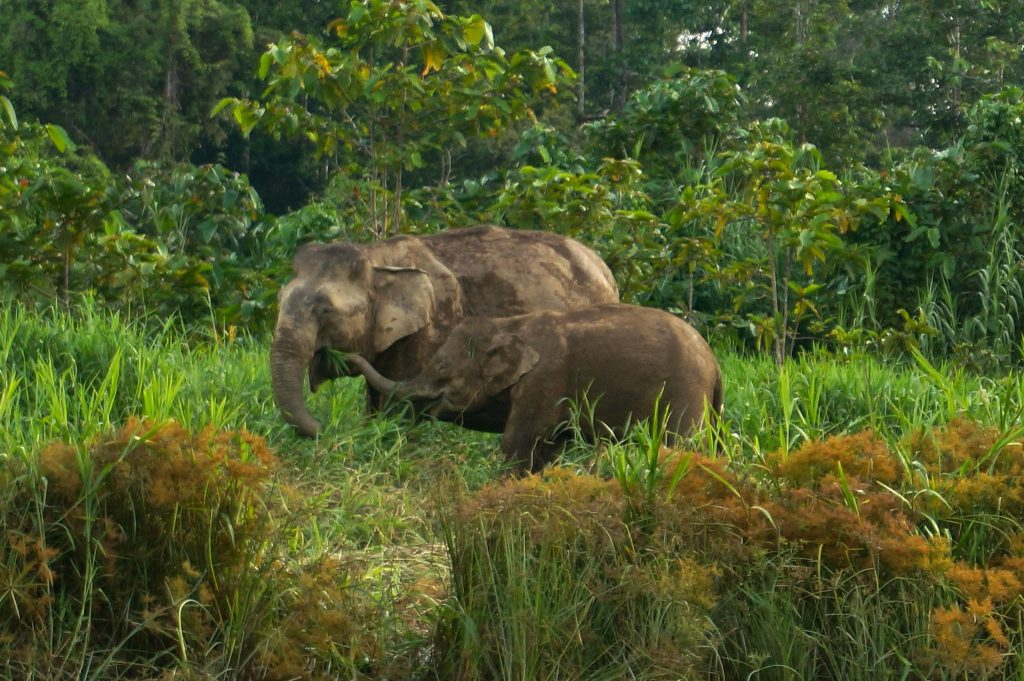 Borneo pygmy elephants spotted along the Kinabatangan River in Sabah, Borneo