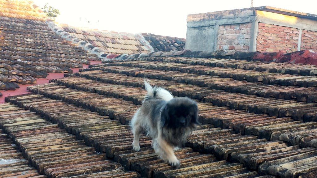 Dog on rooftop in Cuba