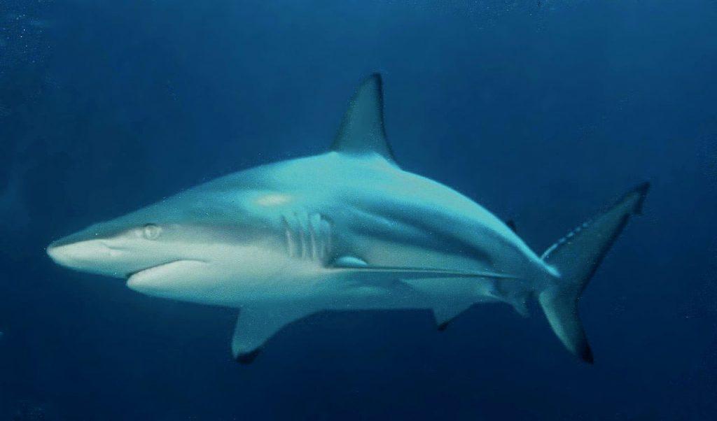 Blacktip shark photo courtesy Albert Kok via Wikimedia Commons