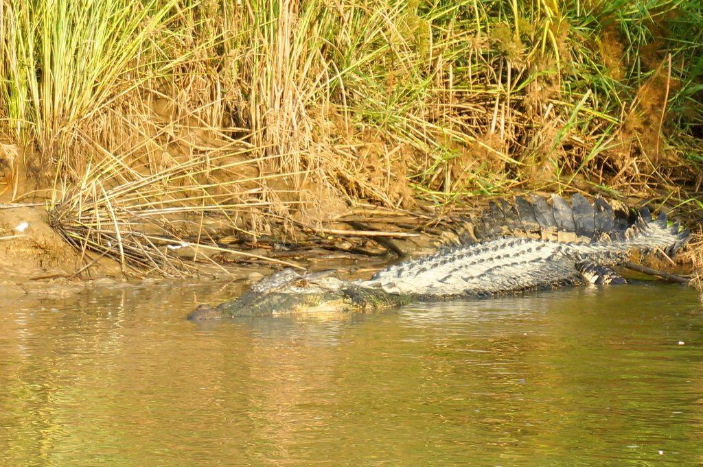 saltwater croc in Kinabatagan river borneo malaysia