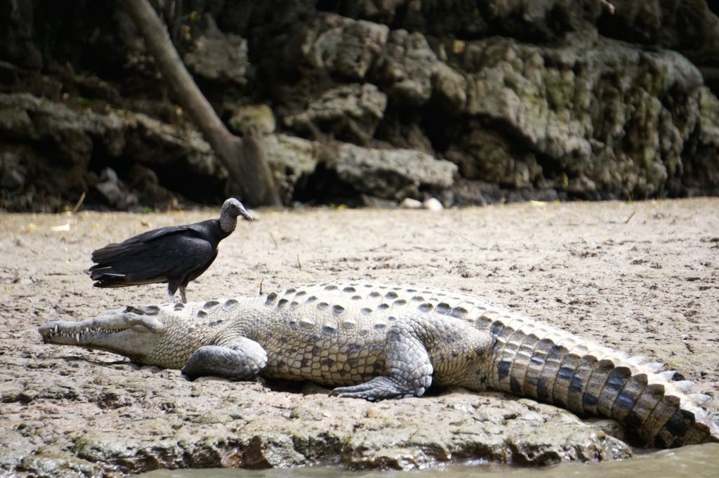 A crocodile and a vulture form an unlikely pair at the bottom of Sumidero Canyon near San Cristobal de las Casas Chiapas Mexico