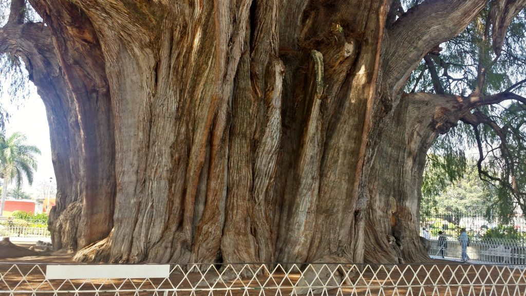 The Arbol del Tule near Oaxaca Mexico is the widest tree in world