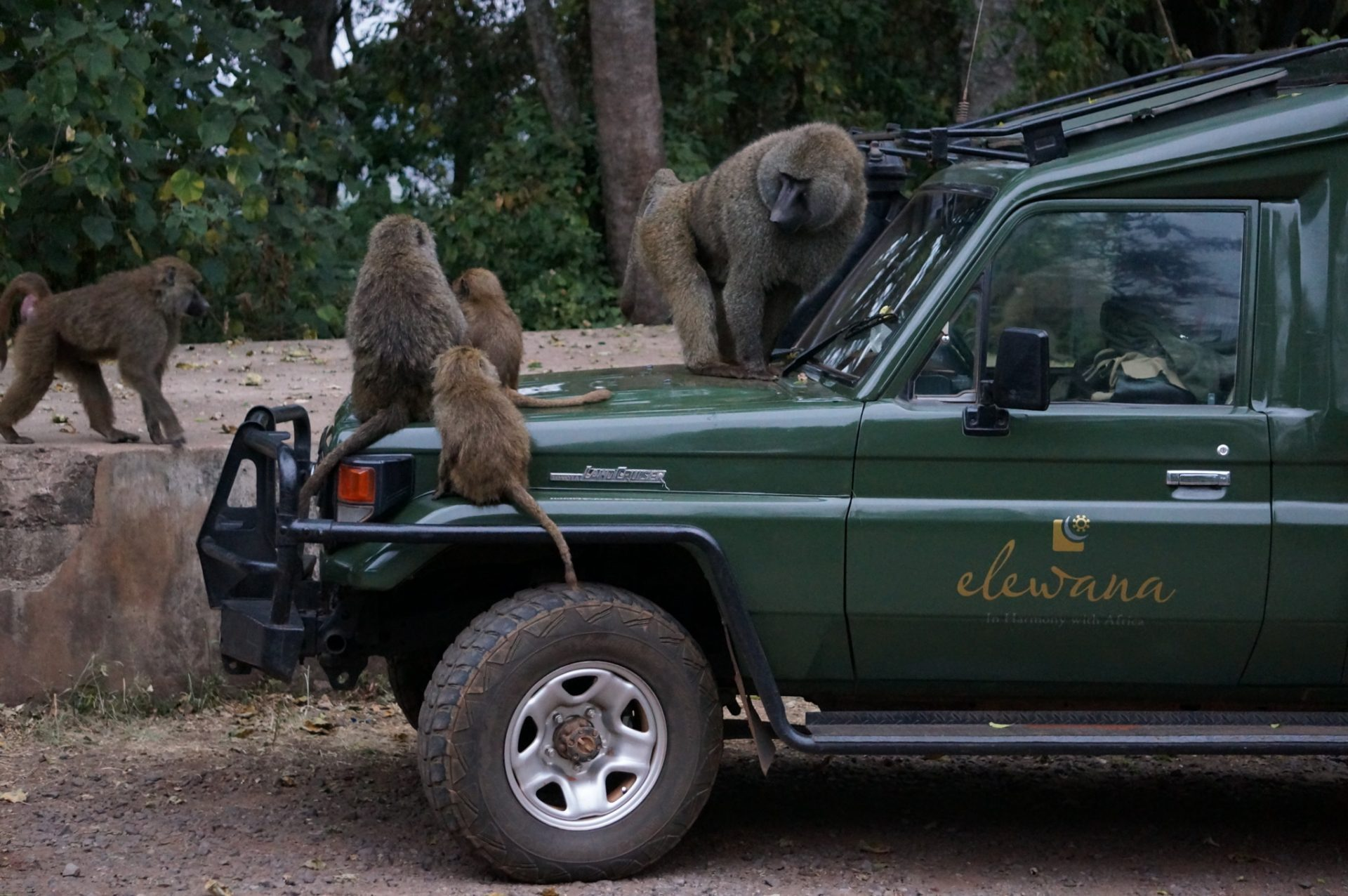Baboons on a safari jeep