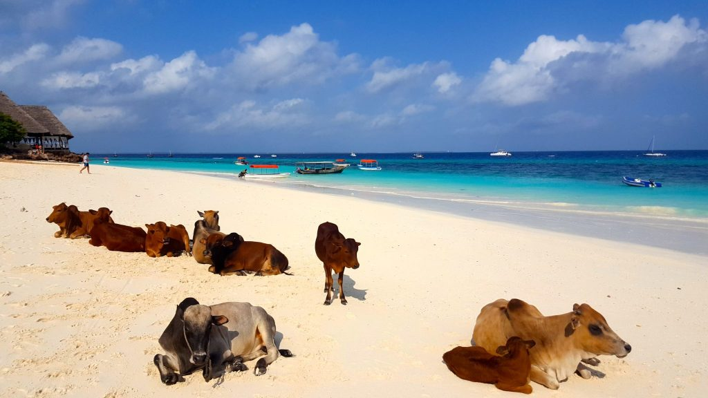 Cows on Nungwi beach zanzibar with very blue ocean water