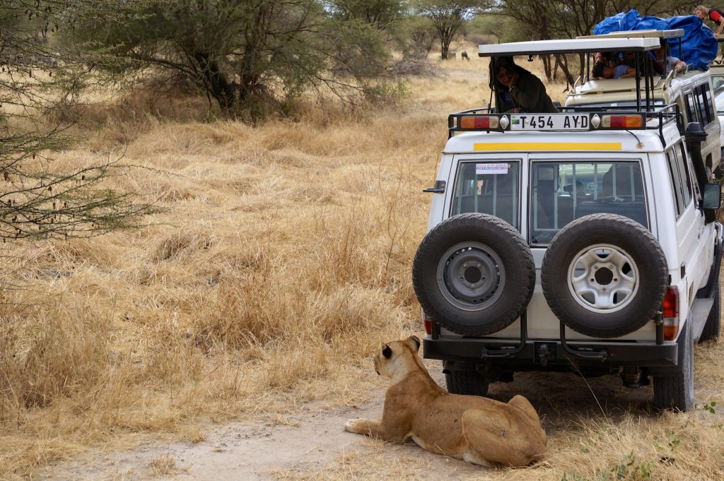 Lion by safari vehicle in Tarangire National Park