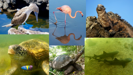 Wildlife you can see in the Galapagos on DIY island hopping trip includes: blue-footed boobie, tortoise, sea turtle, flamingo, marine iguana, and sharks