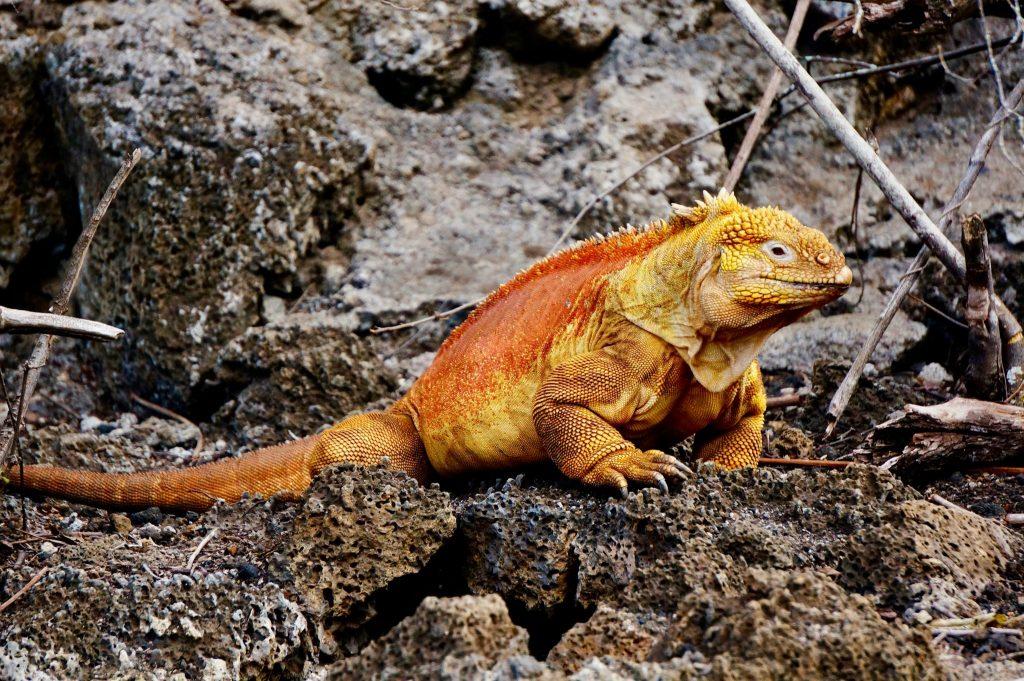 yellow land iguana in the Galapagos
