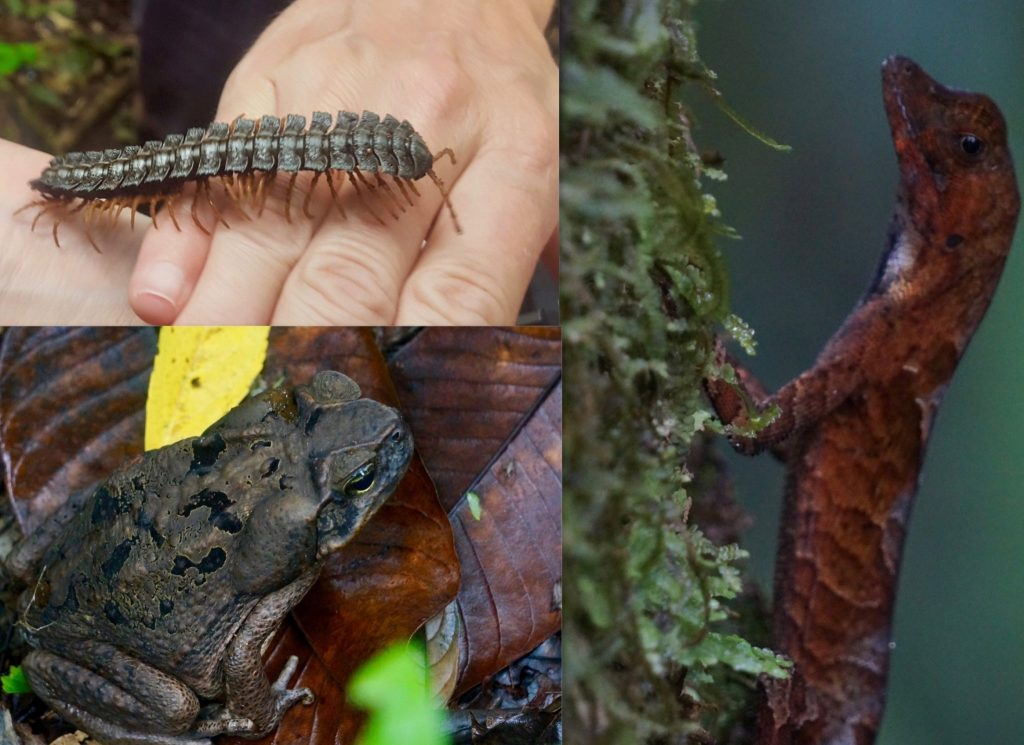 Toad, chameleon, and centapeed in rain forest jungle of Yasuni National Park