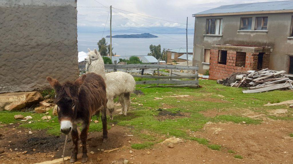 Donkey and llama at hostal del Sol on Isla del Sol