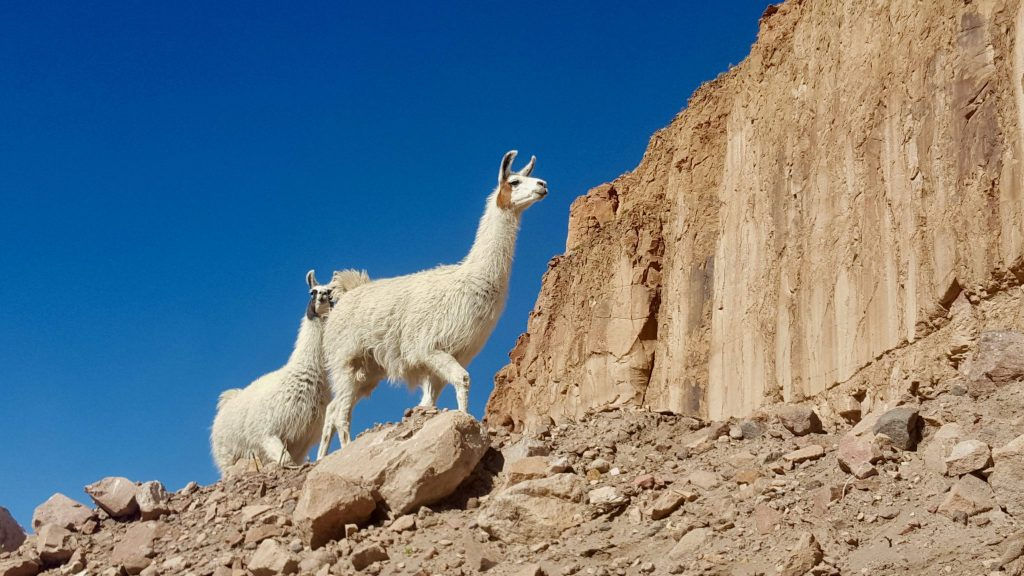 Llamas during Bolivia salt flat tour