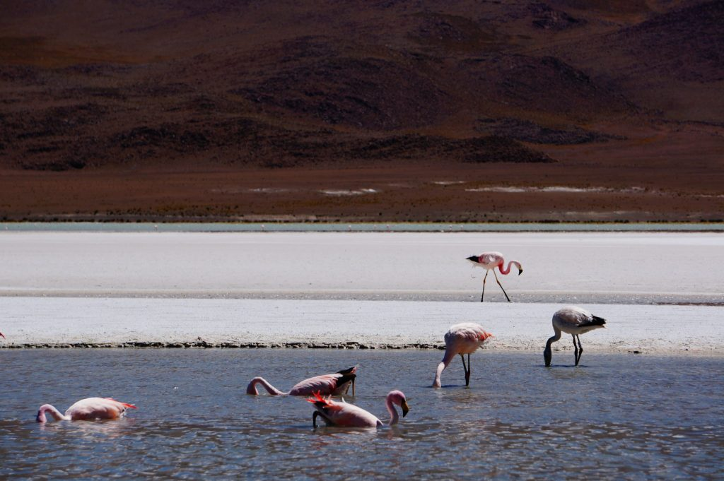 Andes flamingos in Southern Bolivia