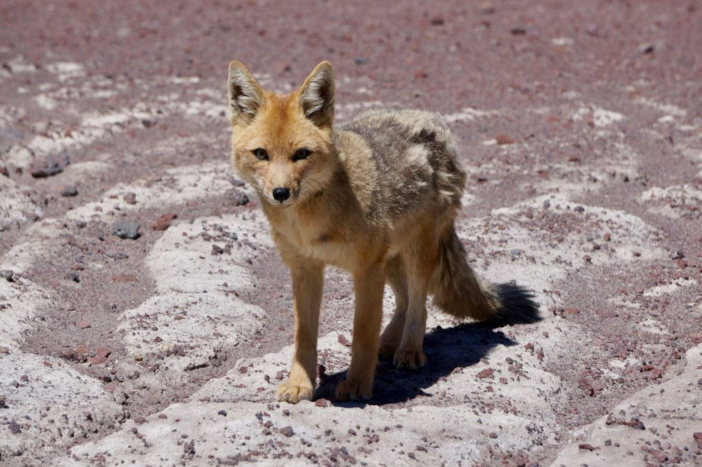 Andean fox in Bolivia