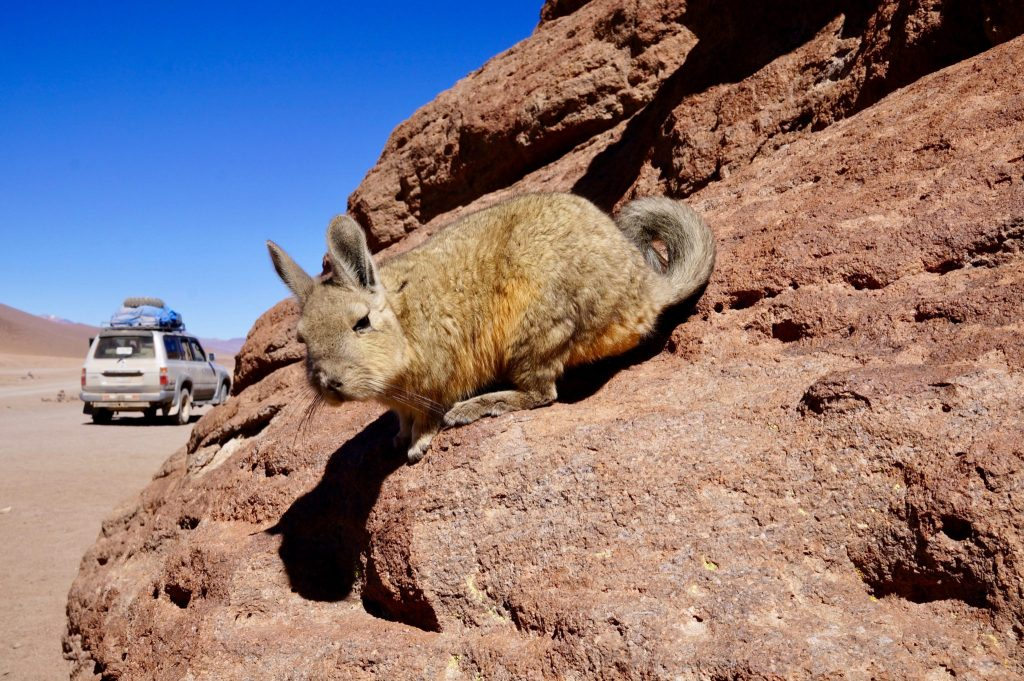 A viscancha is one wildlife that we saw during the Salar de Uyuni Bolivia Salt Flat tour