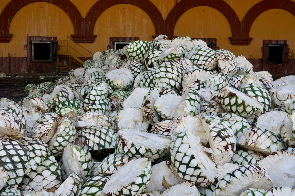 Agave piñas (pineapples) at Casa Herradura