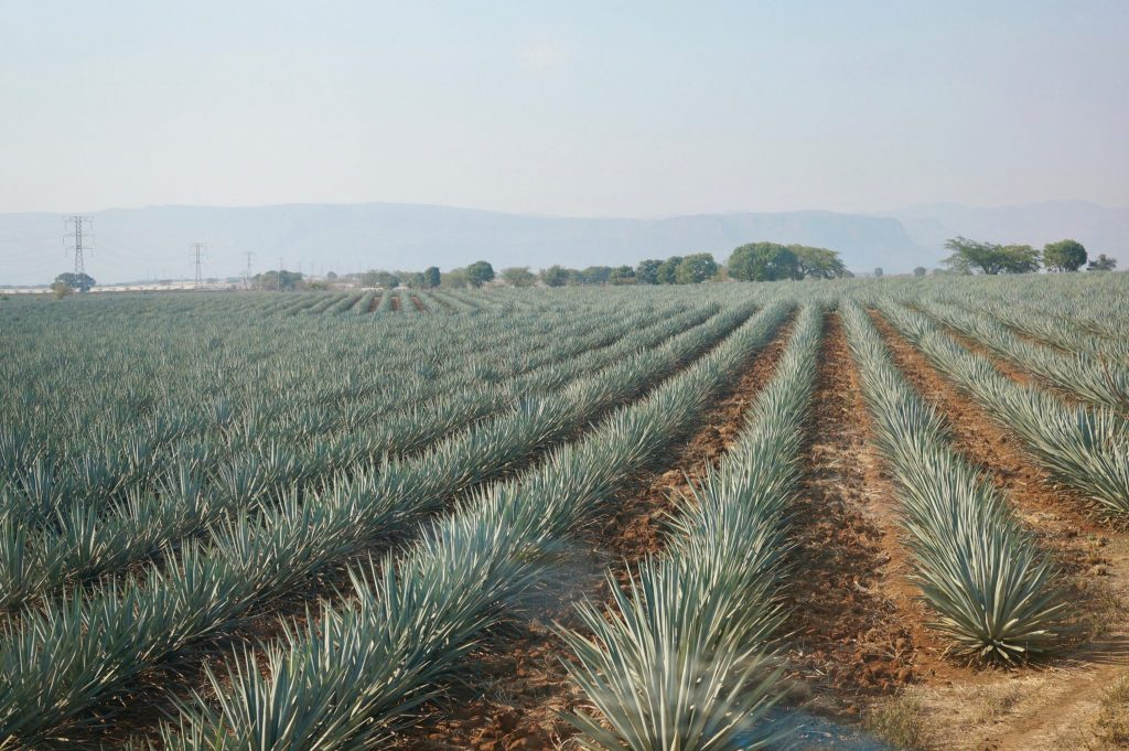 agave fields in Mexico
