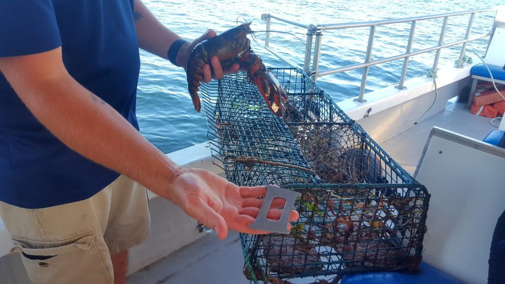 measuring lobsters during floating lobster boil PEI