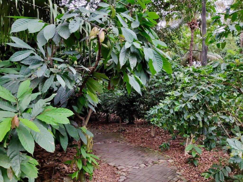 Small cocoa plantation in Parque Historico, Guayaquil Ecuador