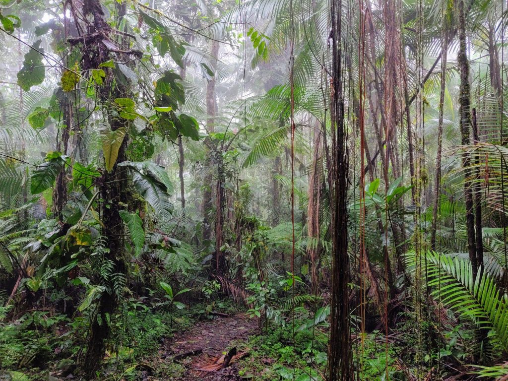 Low-lying clouds descend into the dense forest canopy of the Mindo Cloud Forest