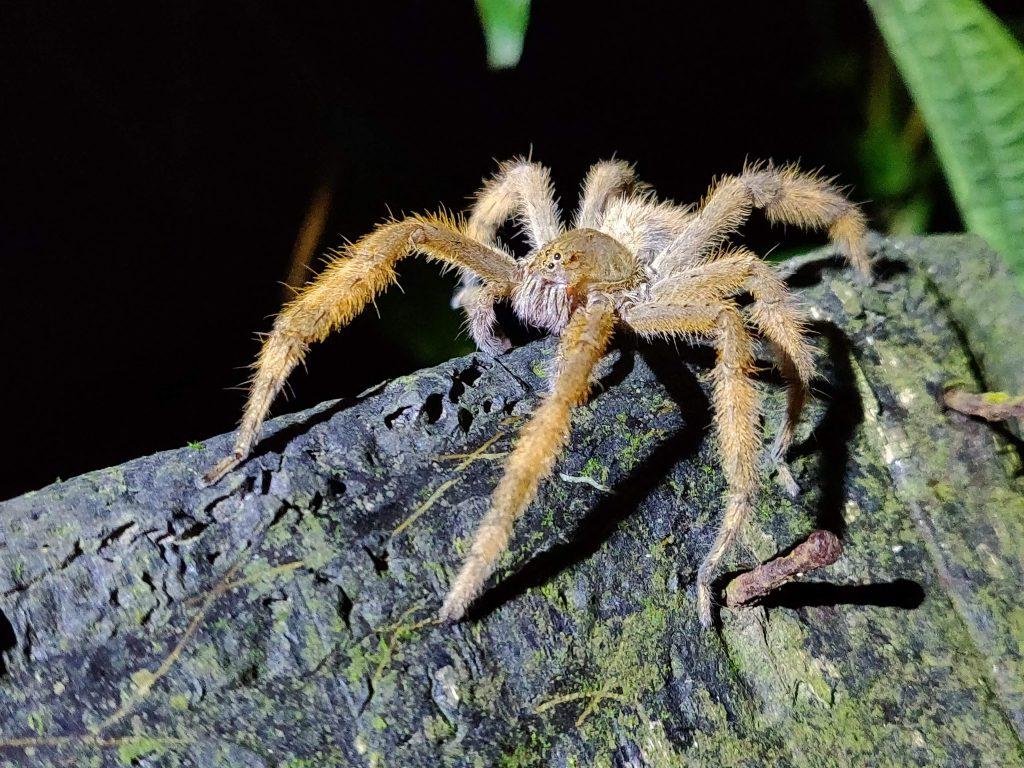 tarantula during Mindo night walk at the frog concernt